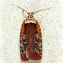 Walsingham's Agonopterix  - Agonopterix walsinghamella