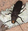 beetle - Mallodon dasystomus