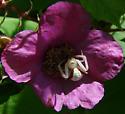 Unknown arachnid - Misumena vatia