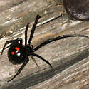 Black widow? - Latrodectus variolus - female