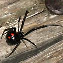 Black widow? - Latrodectus variolus - female