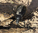 Beetle - Eleodes spinipes