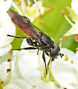 Mydas Fly? - Chalcosyrphus piger
