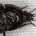 Beetle IMG_0657 - Oodes
