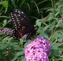Butterfly - Papilio polyxenes - female