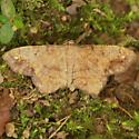 One-spotted Variant - Hodges#6654 - Hypagyrtis unipunctata
