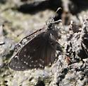 Likely duskywing species? - Erynnis baptisiae