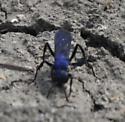 Spider wasp? - Psorthaspis planata