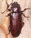 Coleoptera - Mallodon dasystomus