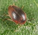 Eucinetidae? - Nycteus oviformis