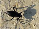 Darkling stink beetle? - Eleodes dentipes
