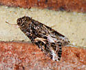 Spodoptera ornithogalli - Yellow-striped Armyworm Moth - Hodges#9669 - Spodoptera ornithogalli