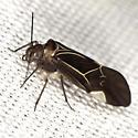 Common Barklouse - Cerastipsocus venosus - female