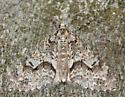 mottled gray carpet - Cladara limitaria
