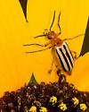 Blister Beetle - Pyrota bilineata