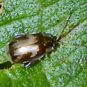 brown/gray flea beetle - Capraita obsidiana