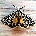 Little Virgin Tiger Moth (Grammia virguncula) - Apantesis virguncula
