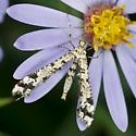Geranium Plume Moth? - Amblyptilia pica