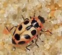 Seaside Lady Beetle  - Naemia seriata