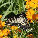 Anise Swallowtail? - Papilio zelicaon - female