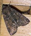 Unidentified Noctuid - Oligia latruncula