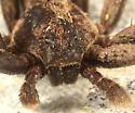 Running Crab Spider - Thanatus formicinus