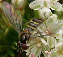 Is this Allograpta, and what is it doing? - Allograpta obliqua