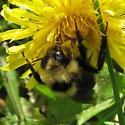 Bombus 6-05-10 06b - Bombus fernaldae