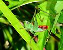 red and green nymph - Odontoxiphidium apterum - male