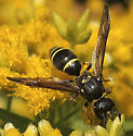 Which Wasp please... - Ancistrocerus antilope - female