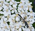 wasp w fat legs & long ovipositor - Gasteruption - female