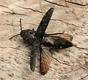 Western Eyed Click Beetle? - Alaus melanops