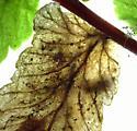 Chirosia? on Asplenium platyneuron - Phytoliriomyza felti