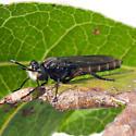Mydas Fly #2? - Nemomydas