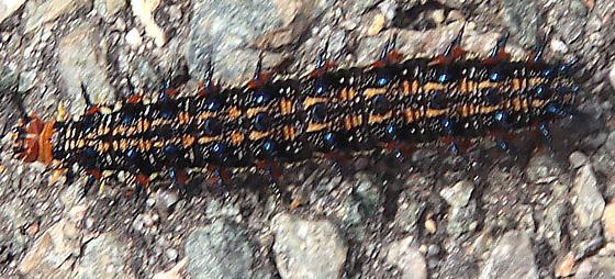 spiky caterpillar - Junonia coenia