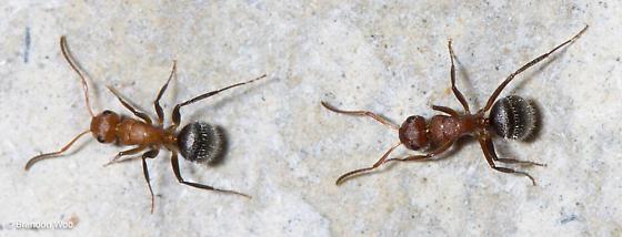 Camponotus planatus - female