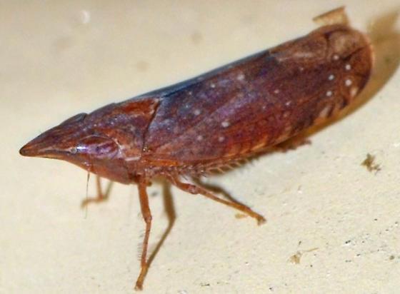 ? - Scaphytopius rubellus