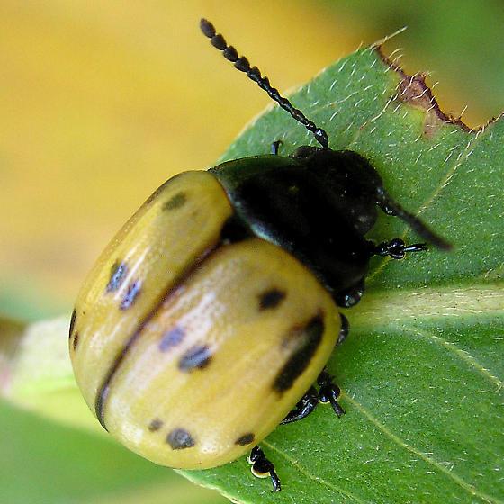 Milkweed Beetle? - Labidomera clivicollis
