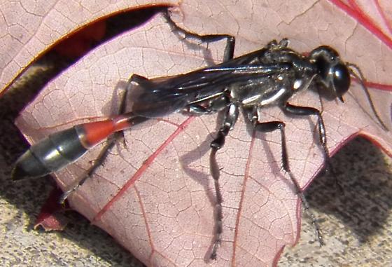 Wasp ? - Ammophila procera