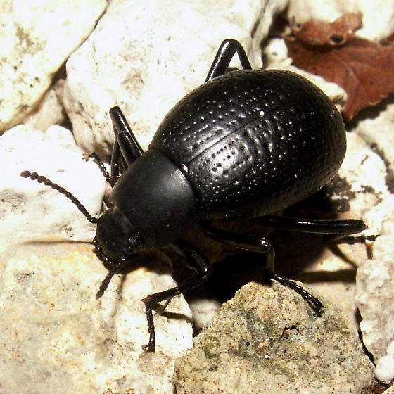 The Beetle and The Ant - Eleodes goryi