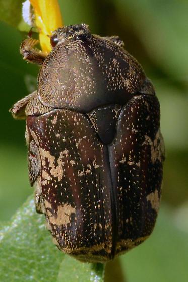 Euphoria species, sepulcralis? - Protaetia fusca
