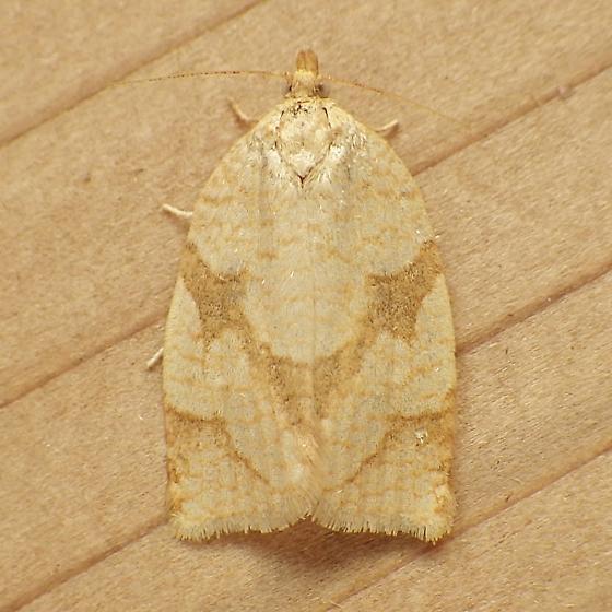 Tortricidae: Adoxophes negundana - Adoxophyes negundana