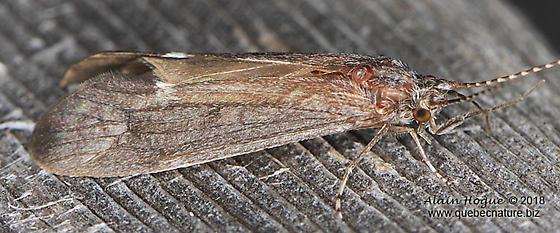 Ceraclea sp.  (near C. enodis) - Ceraclea - male