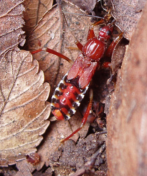 Rasahus biguttatus, I presume?  An assassin bug nymph. - Rasahus
