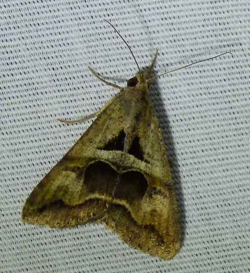 unknown moth - Melipotis cellaris