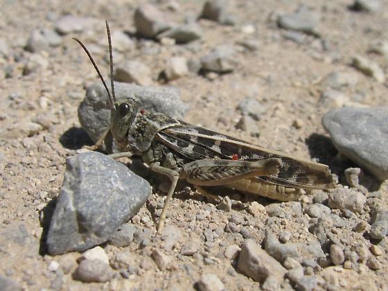Grasshopper with mite - Xanthippus corallipes - male
