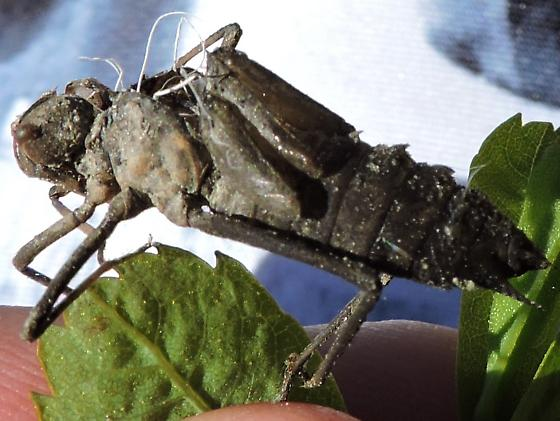 dragonfly and its exuvia - Epitheca