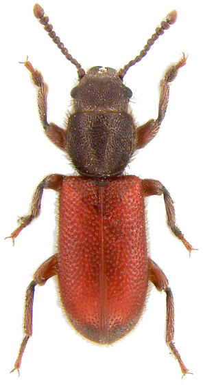 Zenodosus sanguineus (Say, 1835) - Zenodosus sanguineus