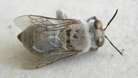 Gray bee - Centris pallida - male