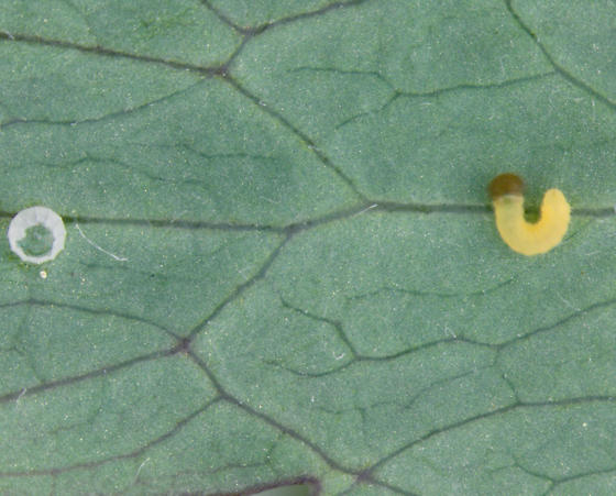 perhaps Columbine Duskywing - Erynnis lucilius
